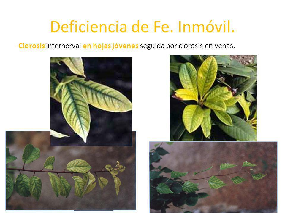 Deficiencia de Fe. Inmóvil.