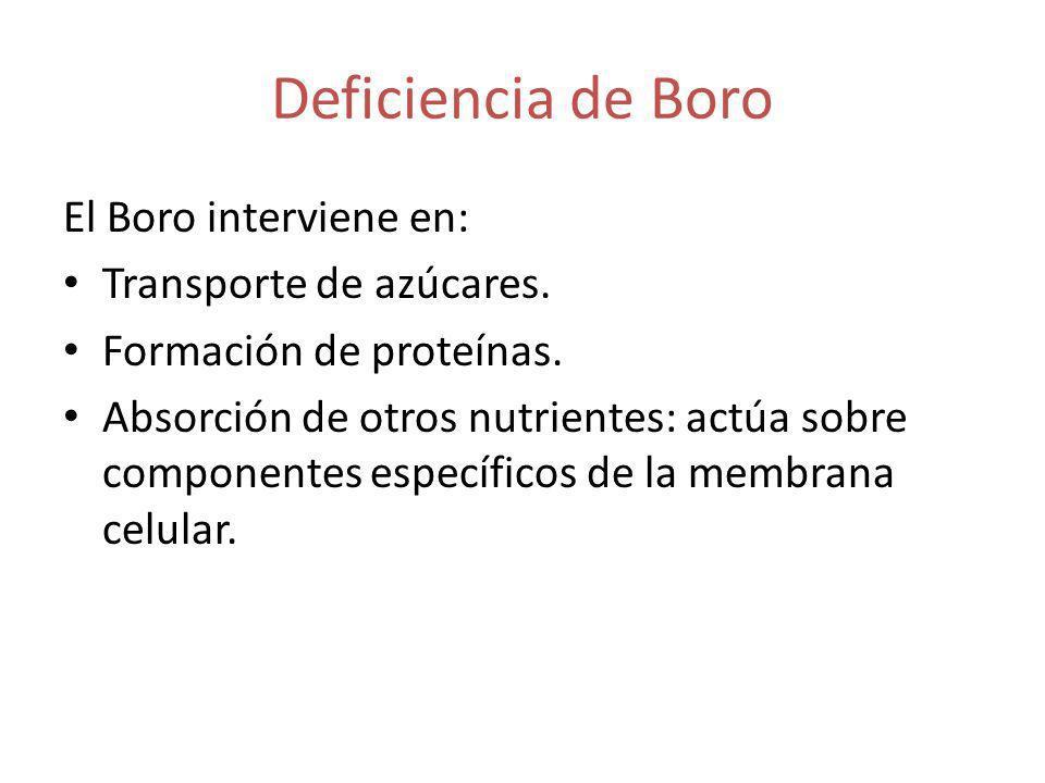 Deficiencia de Boro El Boro interviene en: Transporte de azúcares.