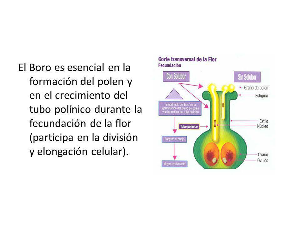 El Boro es esencial en la formación del polen y en el crecimiento del tubo polínico durante la fecundación de la flor (participa en la división y elongación celular).