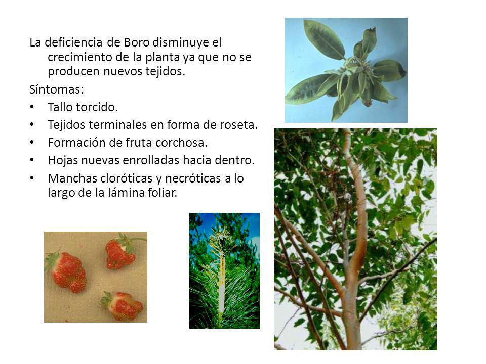 La deficiencia de Boro disminuye el crecimiento de la planta ya que no se producen nuevos tejidos.