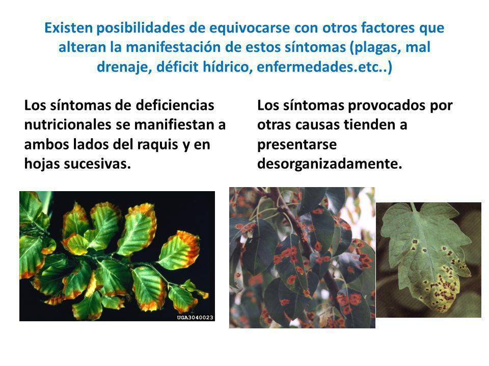 Existen posibilidades de equivocarse con otros factores que alteran la manifestación de estos síntomas (plagas, mal drenaje, déficit hídrico, enfermedades.etc..)