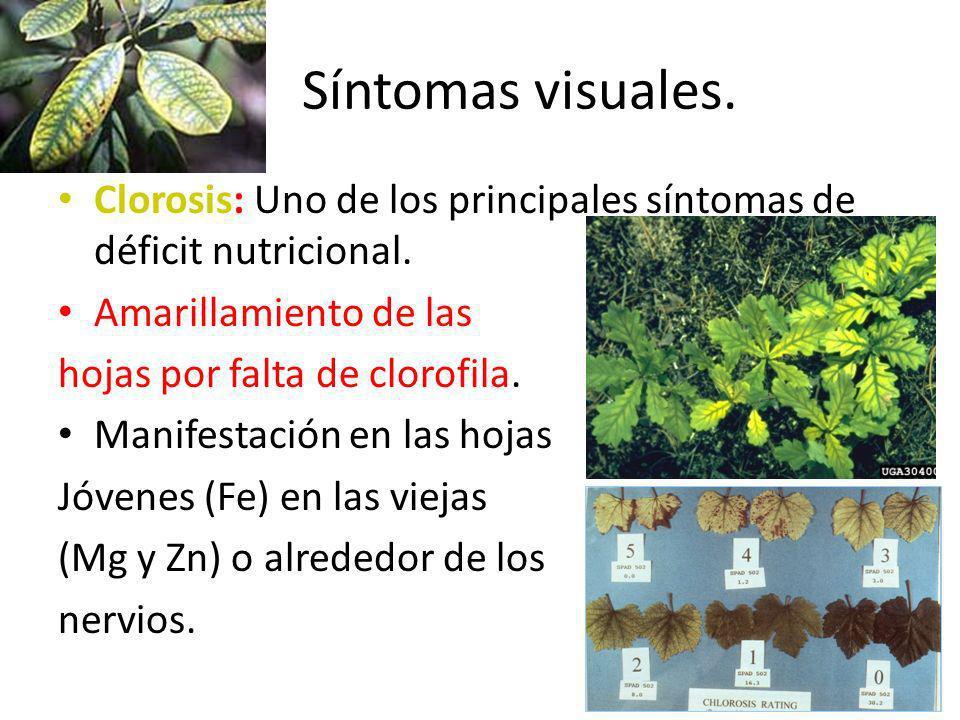 Síntomas visuales. Clorosis: Uno de los principales síntomas de déficit nutricional. Amarillamiento de las.