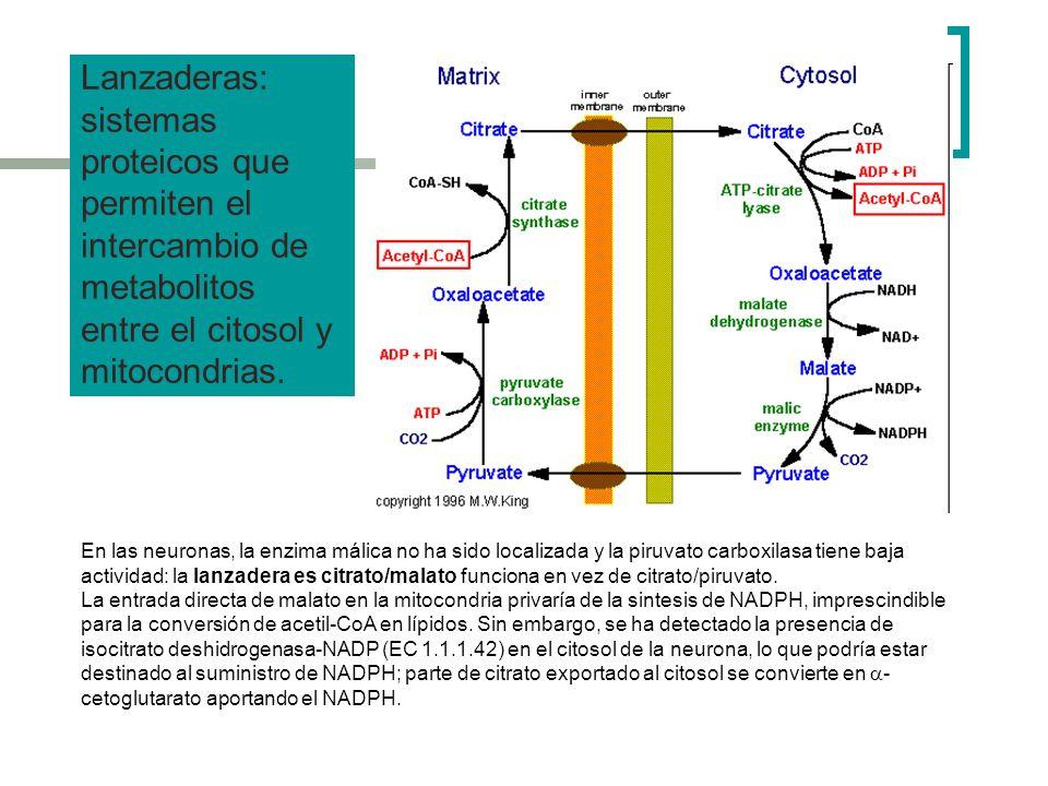 Lanzaderas: sistemas proteicos que permiten el intercambio de metabolitos entre el citosol y mitocondrias.