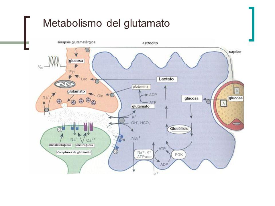 Metabolismo del glutamato