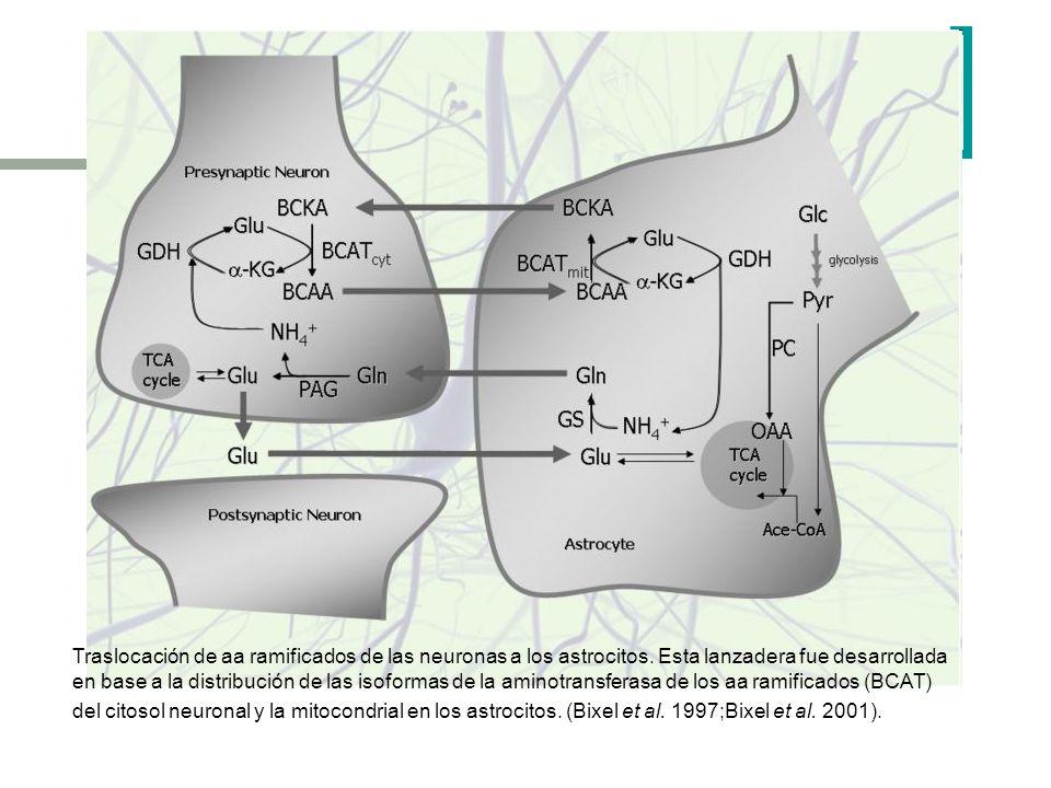 Traslocación de aa ramificados de las neuronas a los astrocitos