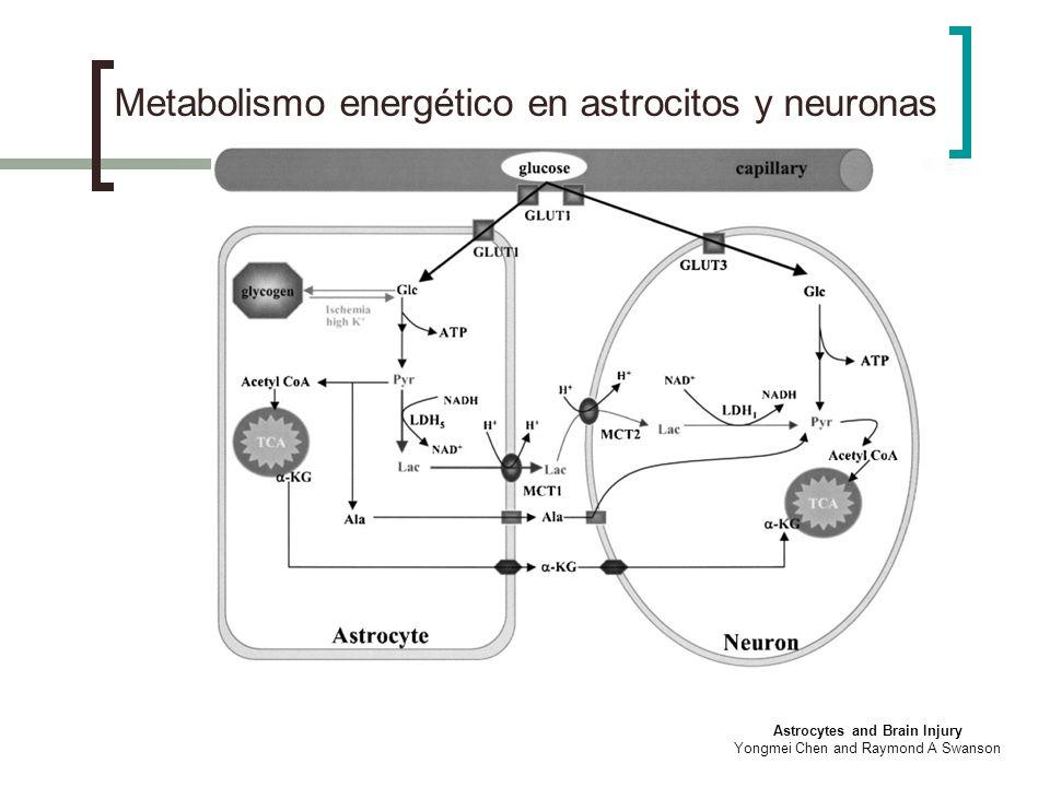 Metabolismo energético en astrocitos y neuronas