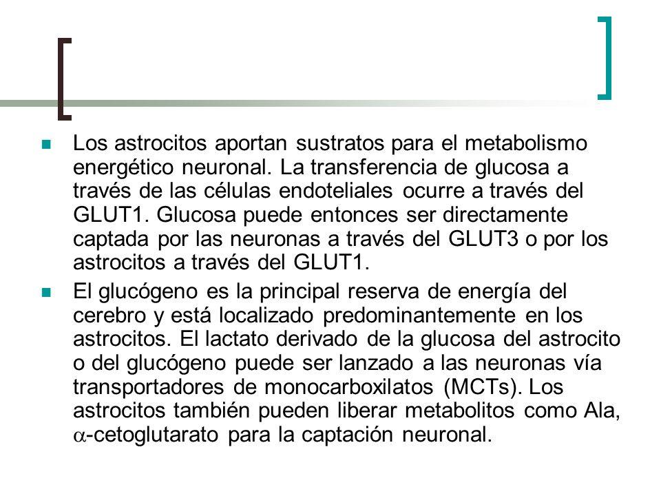 Los astrocitos aportan sustratos para el metabolismo energético neuronal. La transferencia de glucosa a través de las células endoteliales ocurre a través del GLUT1. Glucosa puede entonces ser directamente captada por las neuronas a través del GLUT3 o por los astrocitos a través del GLUT1.