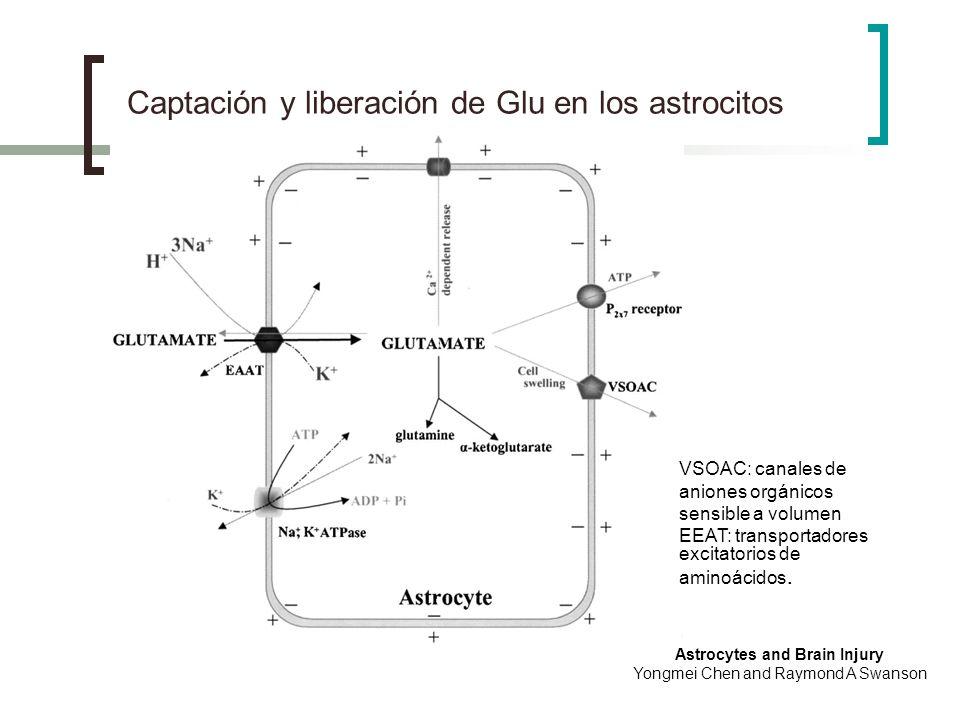 Captación y liberación de Glu en los astrocitos