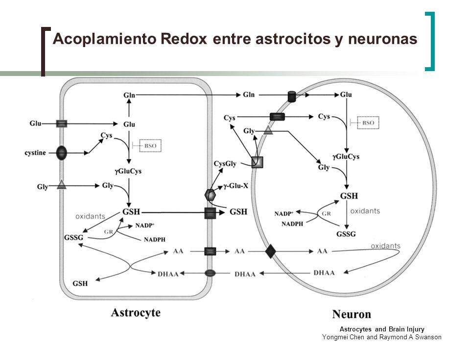 Acoplamiento Redox entre astrocitos y neuronas
