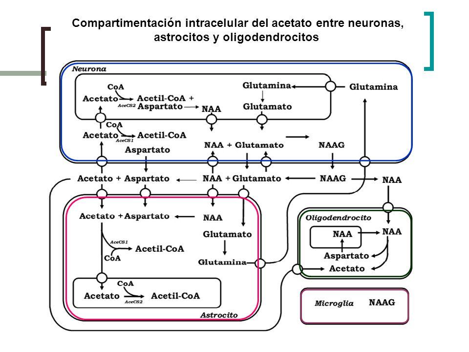 Compartimentación intracelular del acetato entre neuronas, astrocitos y oligodendrocitos