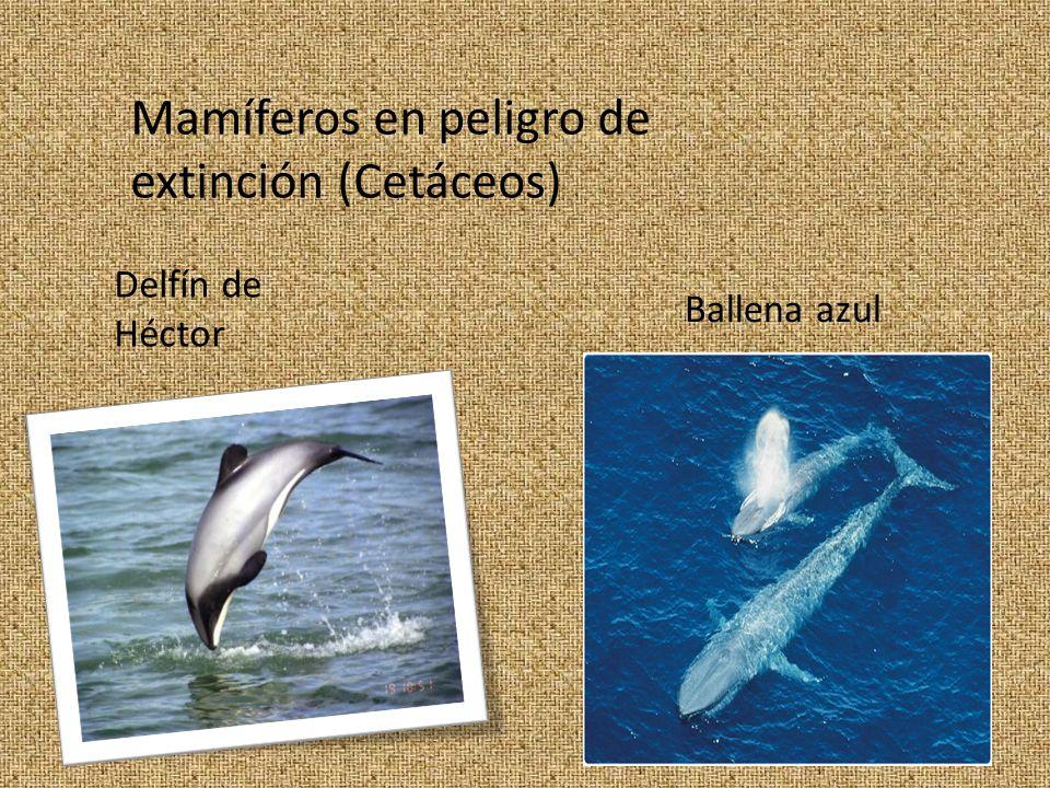 Mamíferos en peligro de extinción (Cetáceos)