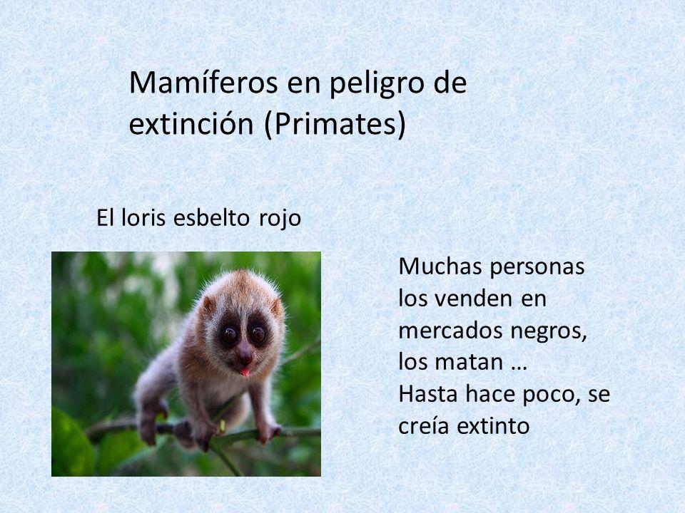 Mamíferos en peligro de extinción (Primates)