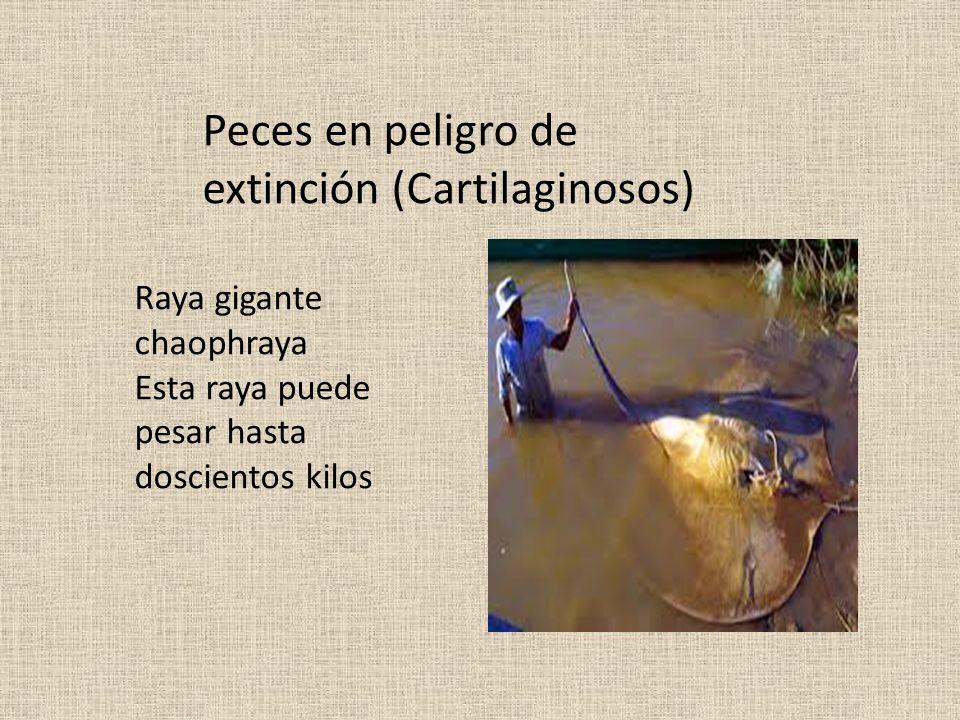 Peces en peligro de extinción (Cartilaginosos)