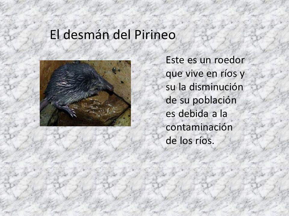 El desmán del Pirineo Este es un roedor que vive en ríos y su la disminución de su población es debida a la contaminación de los ríos.