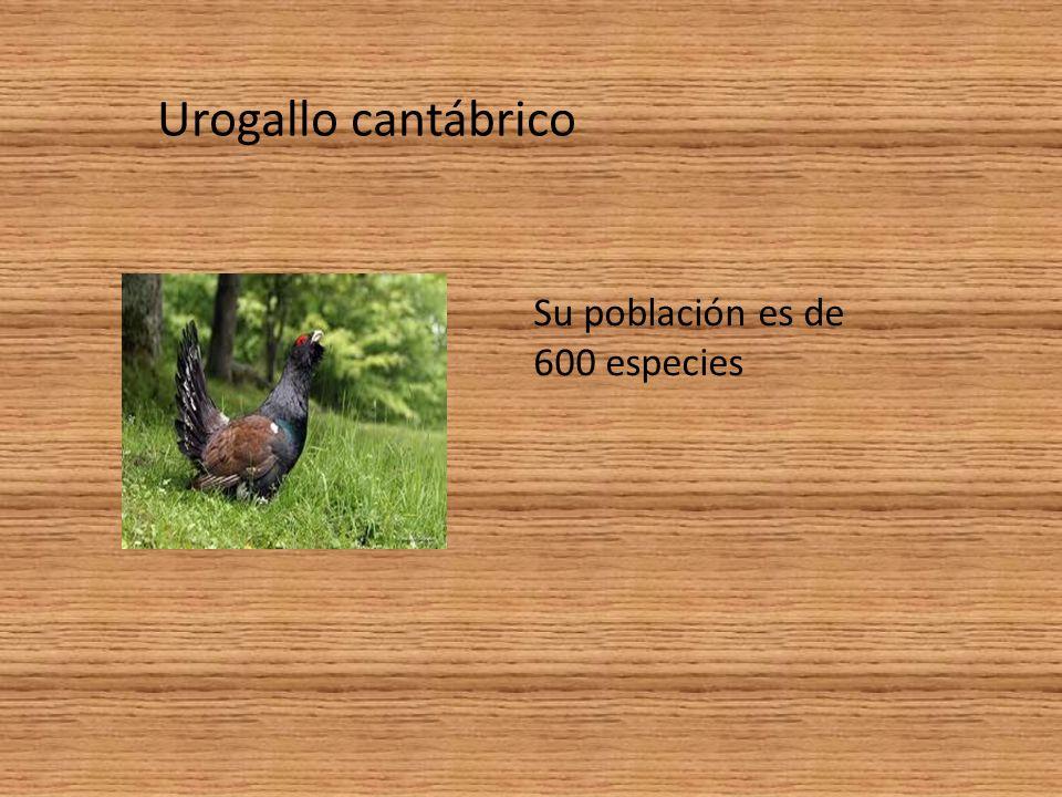 Urogallo cantábrico Su población es de 600 especies