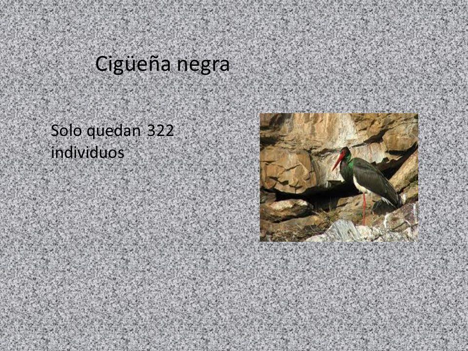 Cigüeña negra Solo quedan 322 individuos