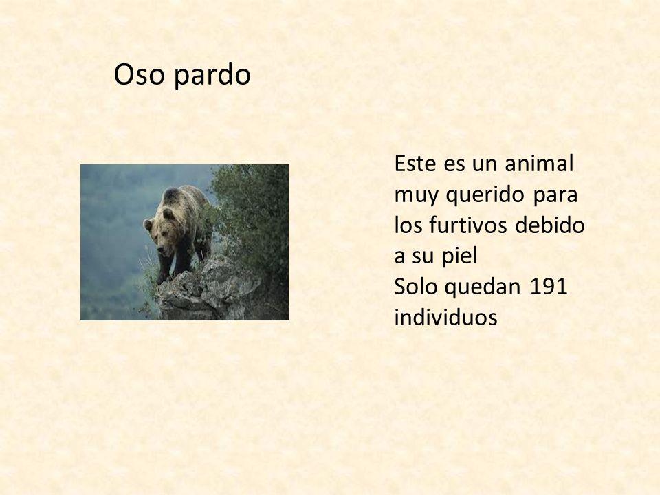 Oso pardo Este es un animal muy querido para los furtivos debido a su piel.