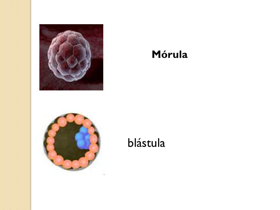 Mórula blástula