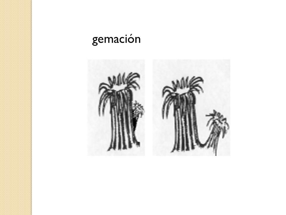 gemación