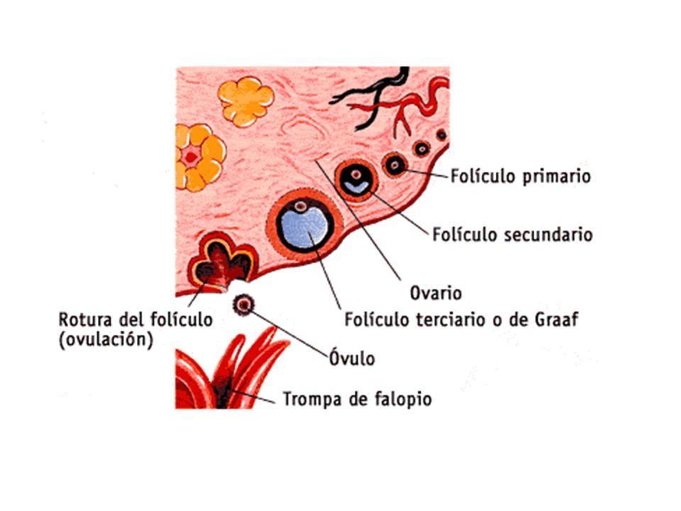 En lugar de ovocitos habla de folículos