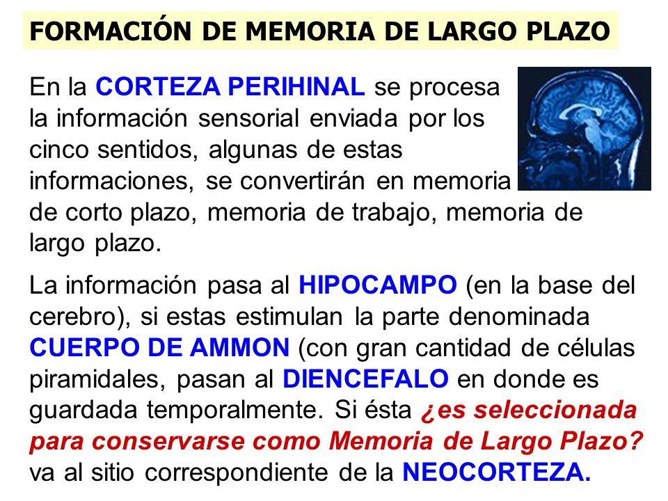 FORMACIÓN DE MEMORIA DE LARGO PLAZO