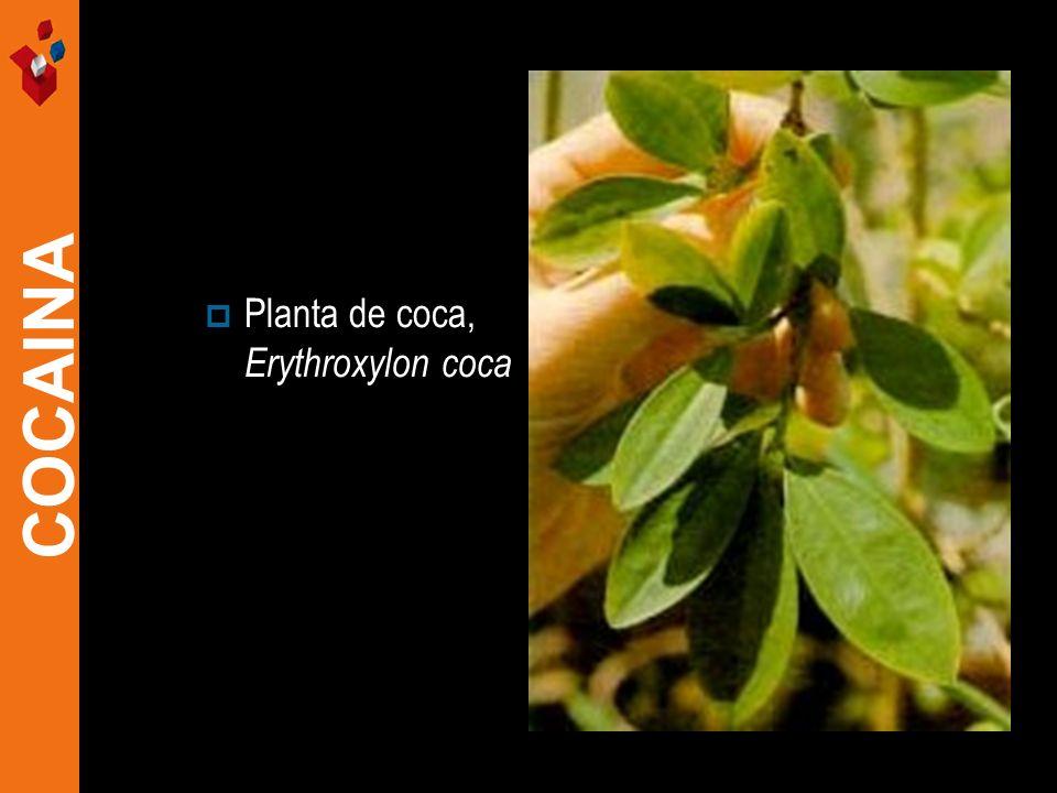 Planta de coca, Erythroxylon coca