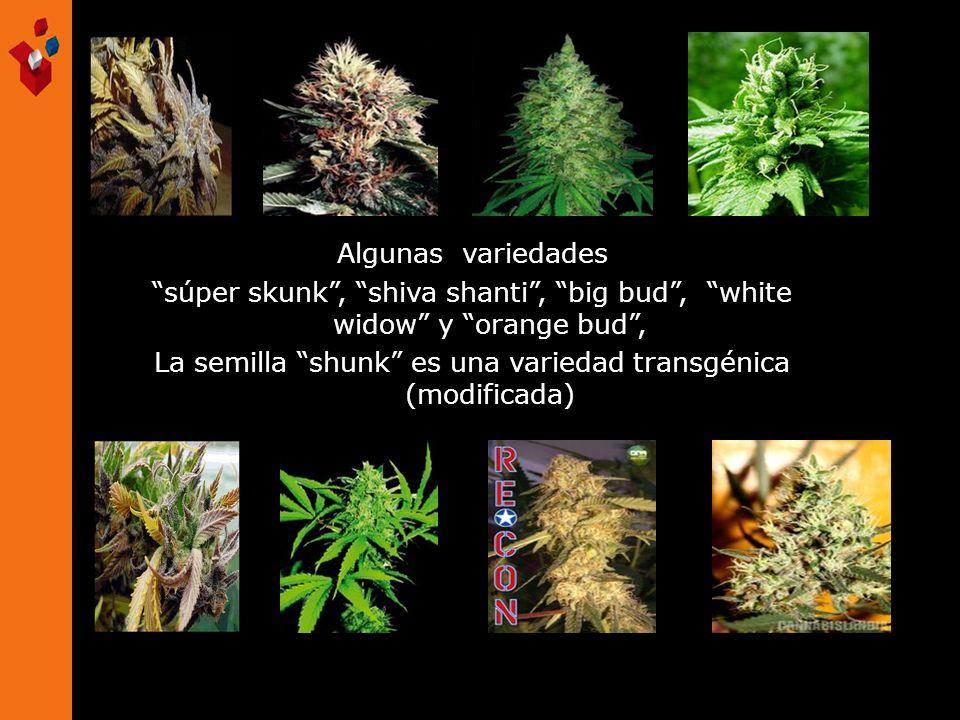 La semilla shunk es una variedad transgénica (modificada)