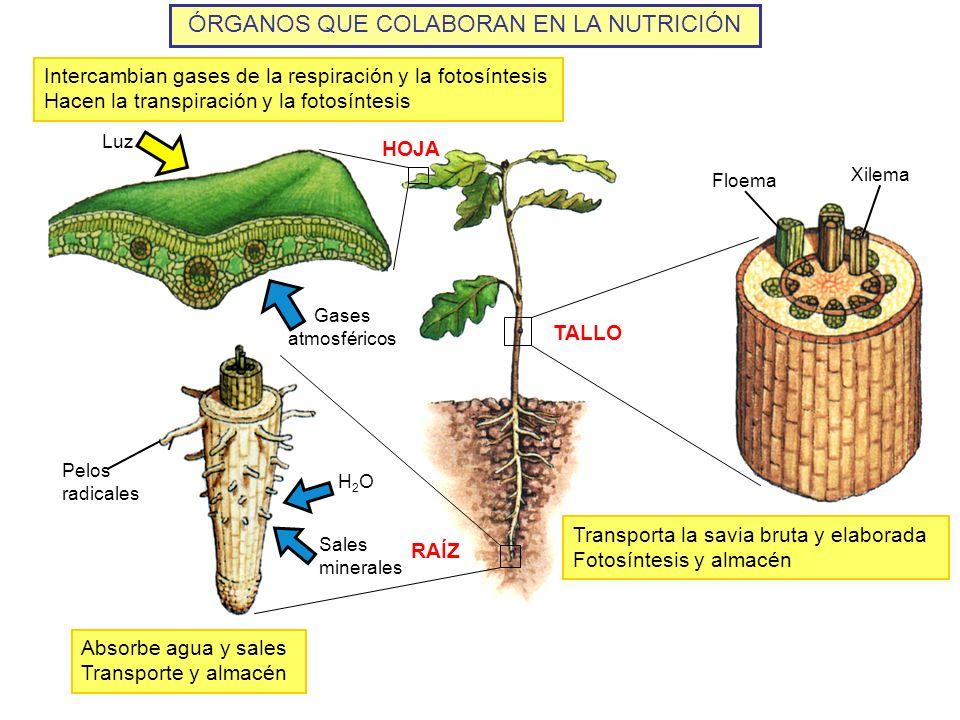 ÓRGANOS QUE COLABORAN EN LA NUTRICIÓN