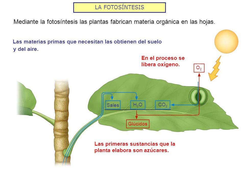 LA FOTOSÍNTESIS Mediante la fotosíntesis las plantas fabrican materia orgánica en las hojas.