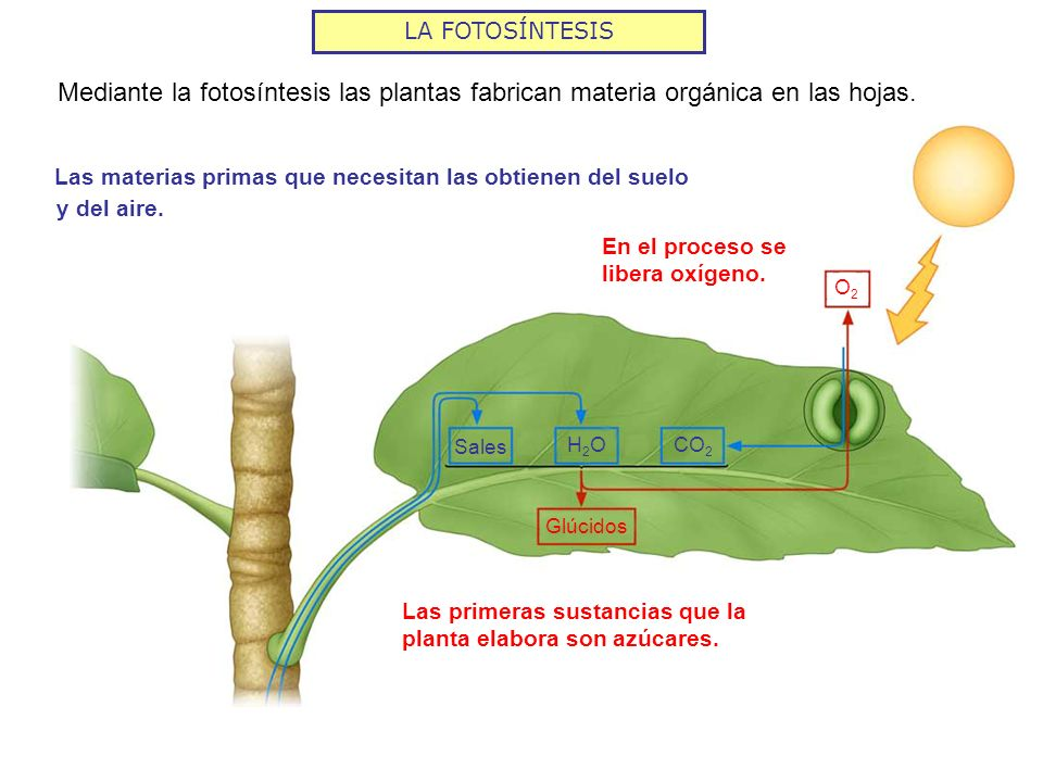 LA FOTOSÍNTESISMediante la fotosíntesis las plantas fabrican materia orgánica en las hojas. Las materias primas que necesitan las obtienen del suelo.