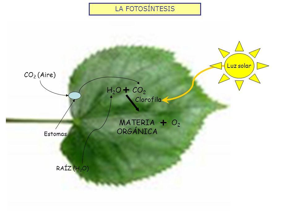 + + CO2 H2O MATERIA ORGÁNICA O2 LA FOTOSÍNTESIS CO2 (Aire) Clorofila