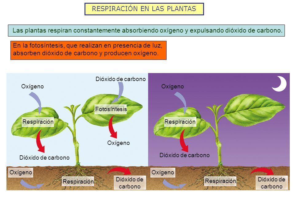 RESPIRACIÓN EN LAS PLANTAS