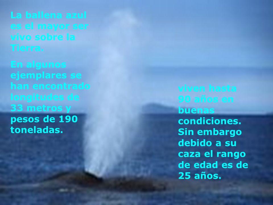 La ballena azul es el mayor ser vivo sobre la Tierra.