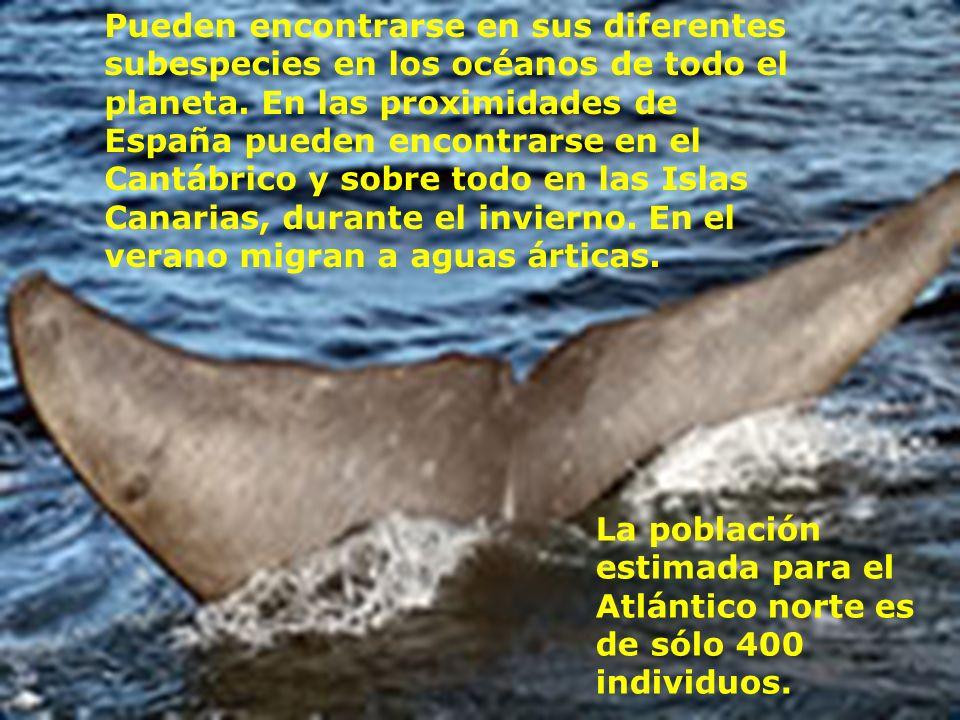 Pueden encontrarse en sus diferentes subespecies en los océanos de todo el planeta. En las proximidades de España pueden encontrarse en el Cantábrico y sobre todo en las Islas Canarias, durante el invierno. En el verano migran a aguas árticas.