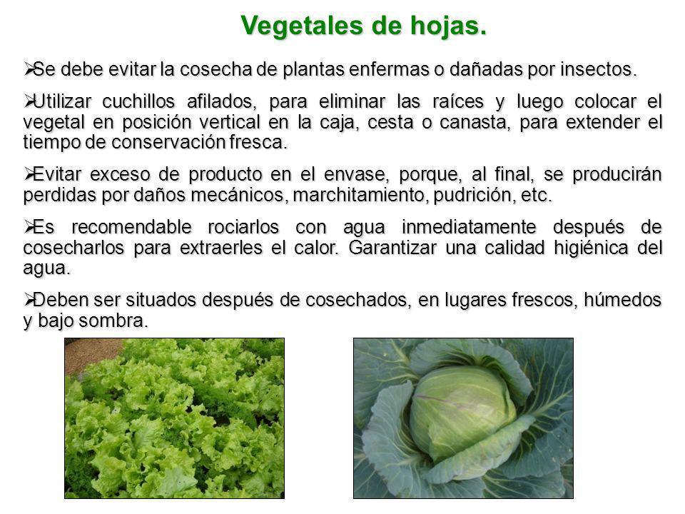 Vegetales de hojas. Se debe evitar la cosecha de plantas enfermas o dañadas por insectos.