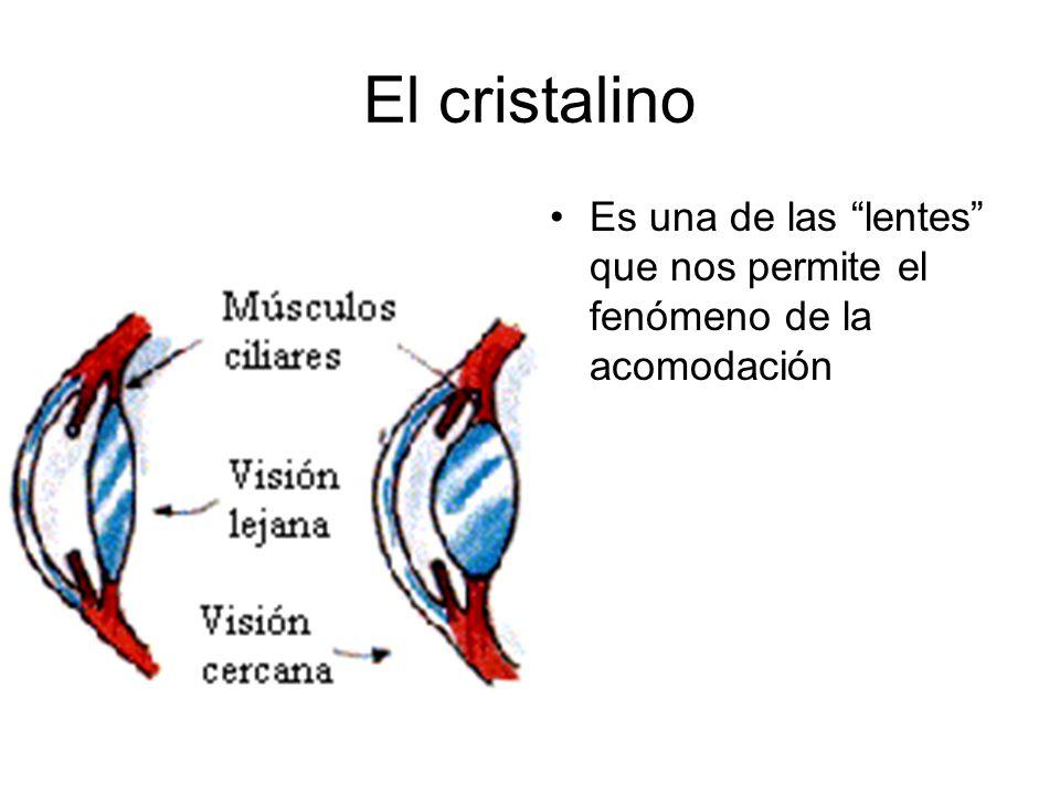 El cristalino Es una de las lentes que nos permite el fenómeno de la acomodación
