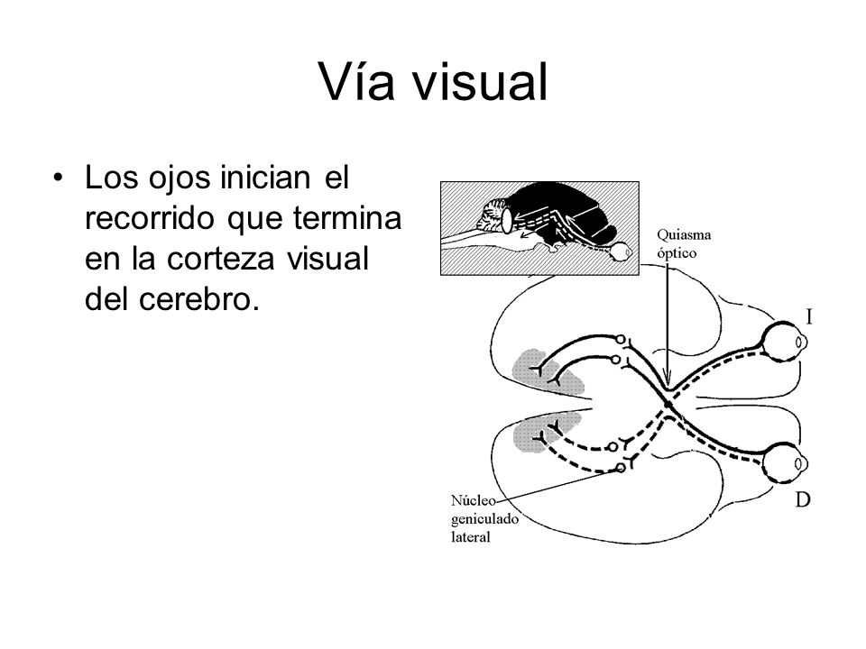 Vía visual Los ojos inician el recorrido que termina en la corteza visual del cerebro.