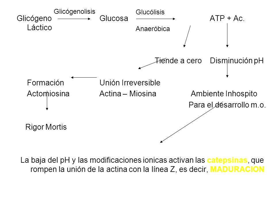 Glicógeno Glucosa ATP + Ac. Láctico