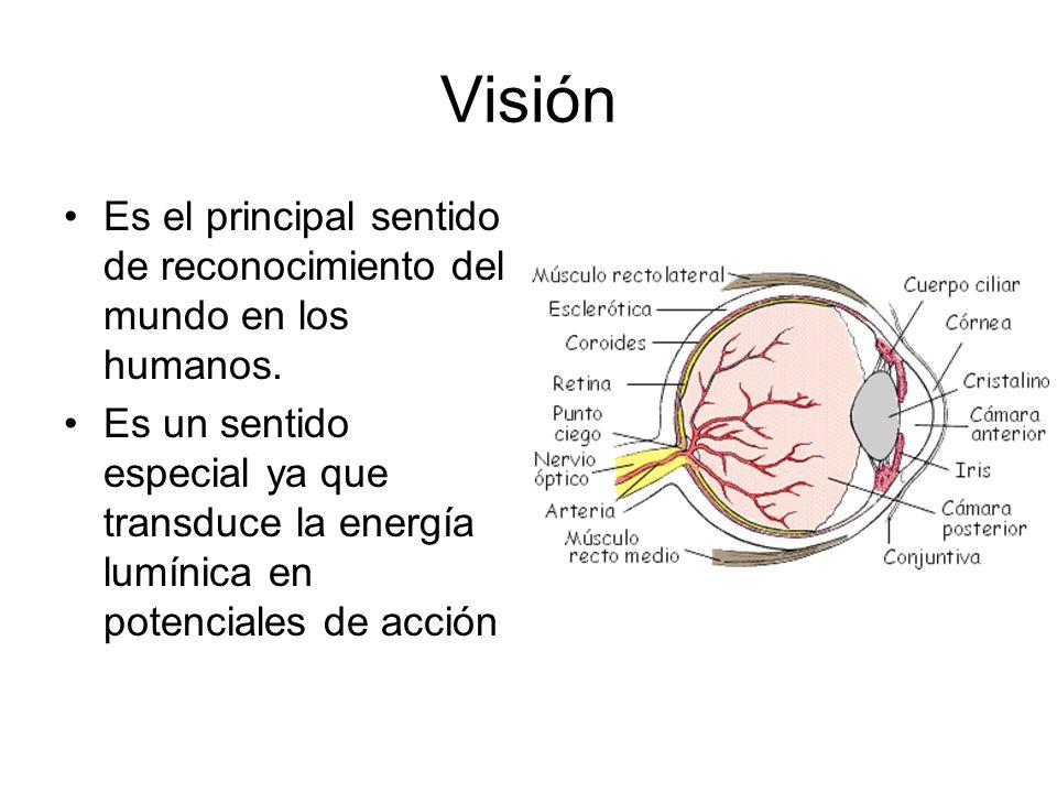 Visión Es el principal sentido de reconocimiento del mundo en los humanos.