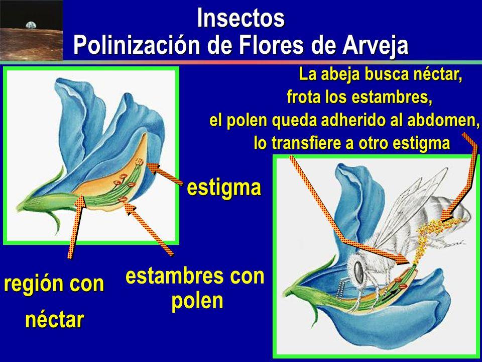 Insectos Polinización de Flores de Arveja