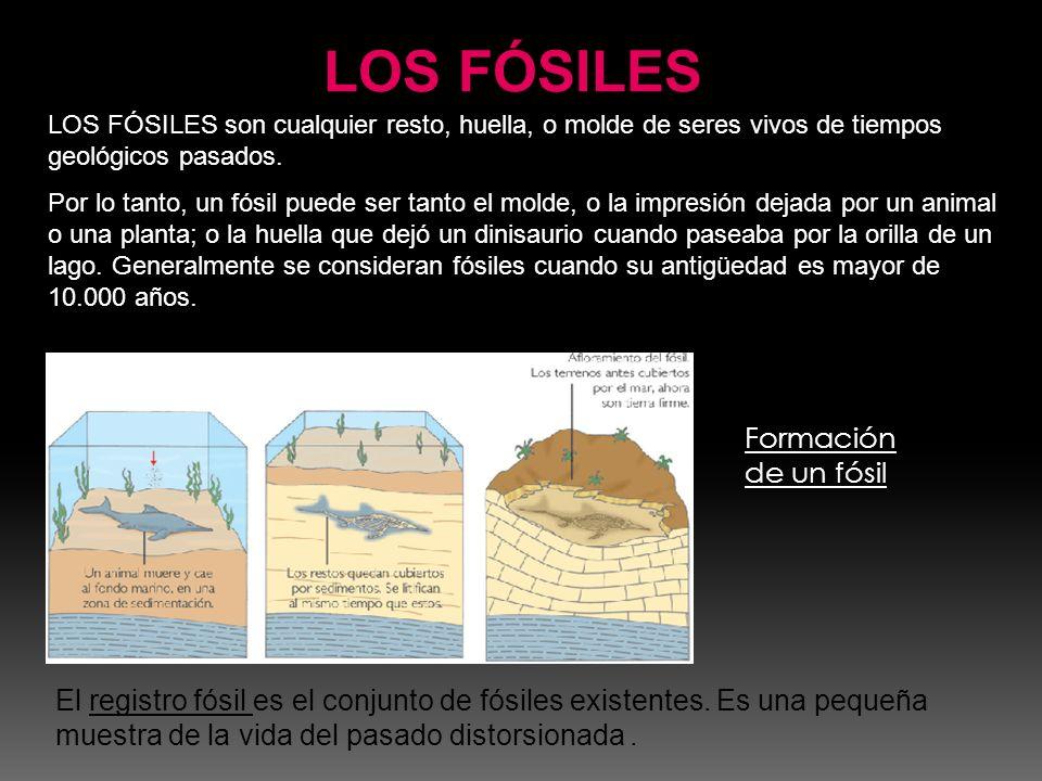 LOS FÓSILES Formación de un fósil