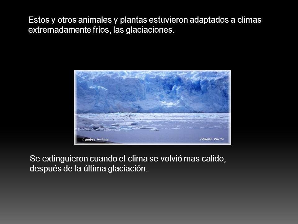 Estos y otros animales y plantas estuvieron adaptados a climas extremadamente fríos, las glaciaciones.