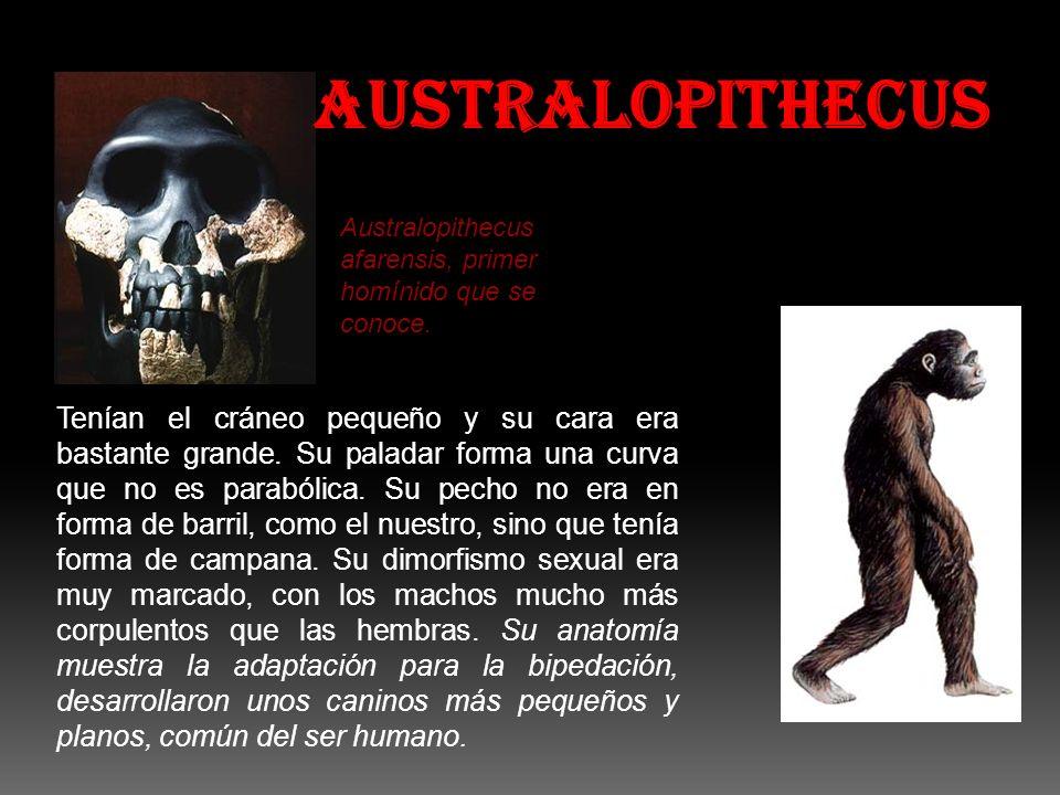 AUSTRALOPITHECUS Australopithecus afarensis, primer homínido que se conoce.