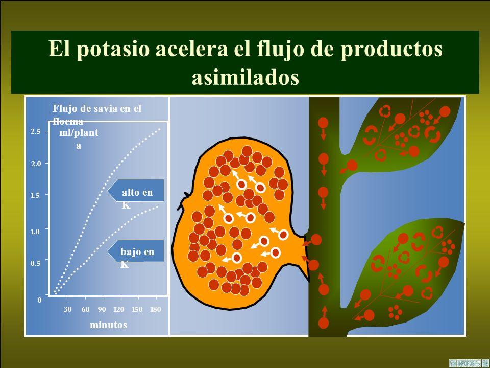 El potasio acelera el flujo de productos asimilados