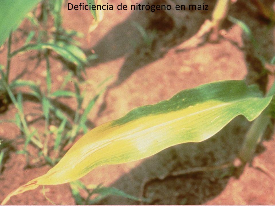 Deficiencia de nitrógeno en maíz