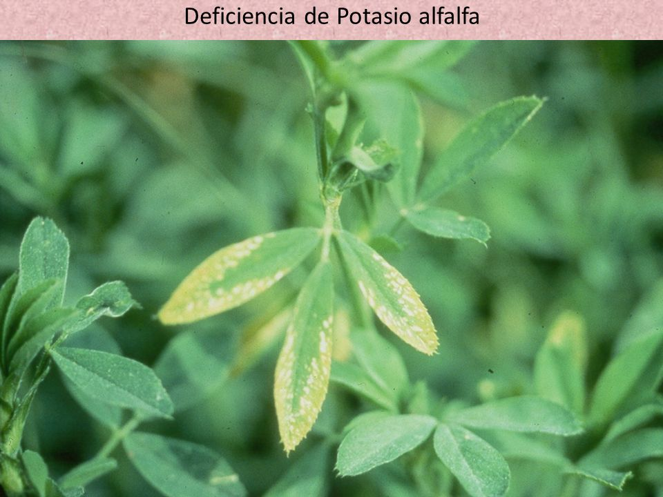 Deficiencia de Potasio alfalfa