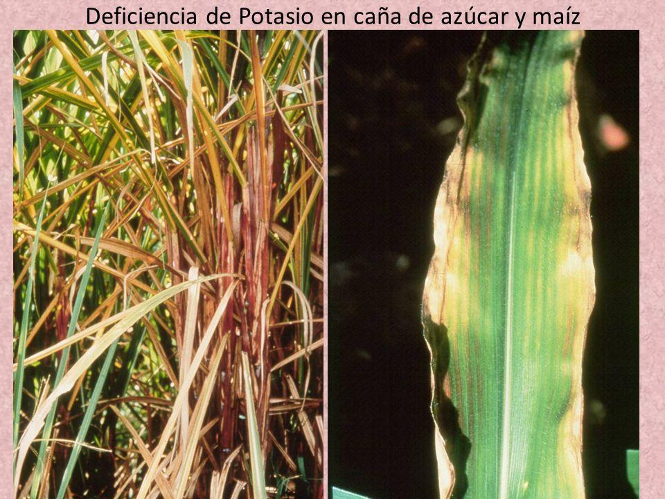 Deficiencia de Potasio en caña de azúcar y maíz