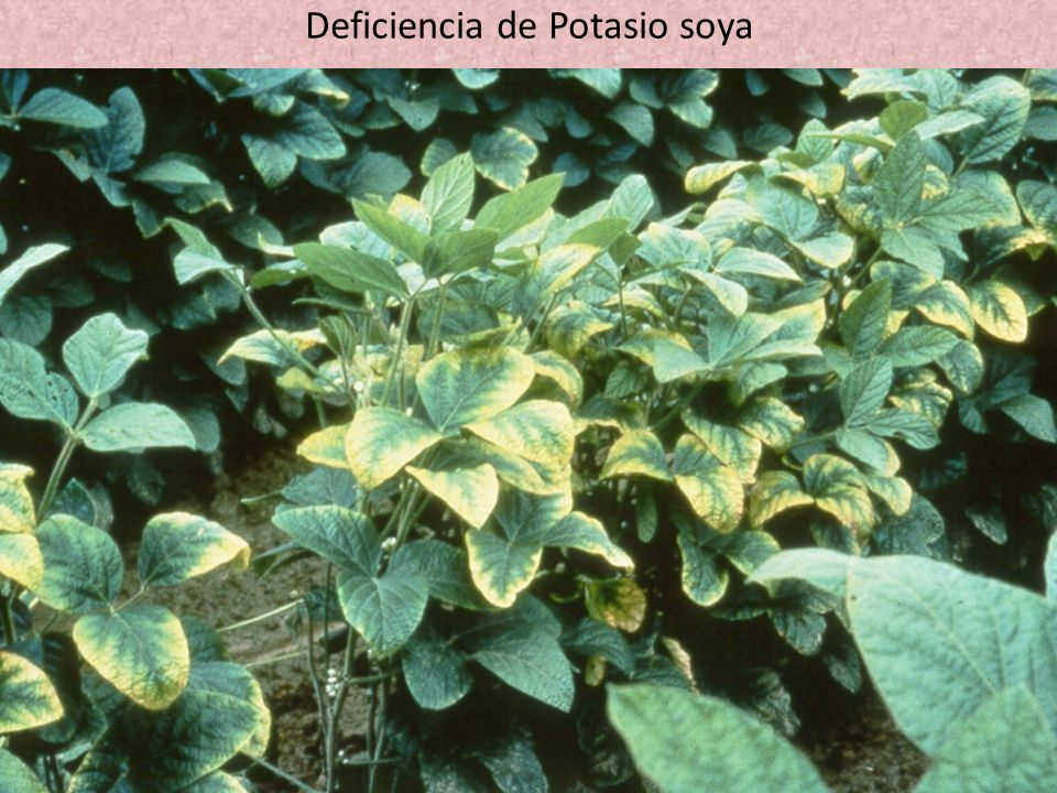 Deficiencia de Potasio soya