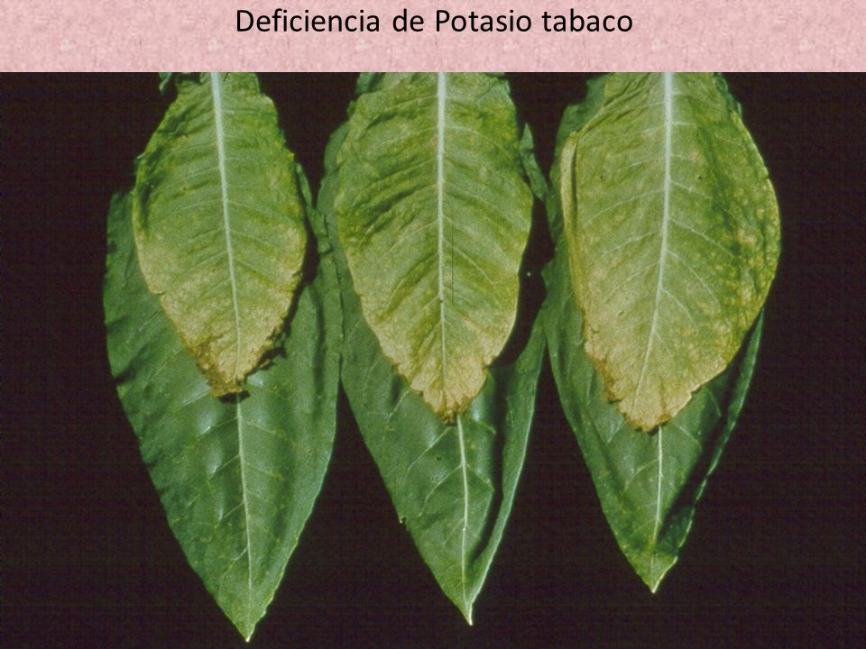 Deficiencia de Potasio tabaco