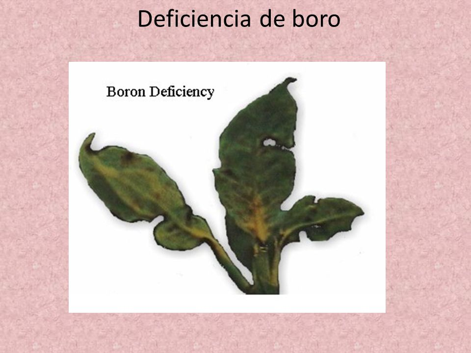 Deficiencia de boro